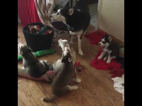 These baby huskies howling will melt your heart