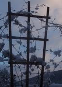 clematis snowblooms