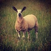 Ewe Lamb
