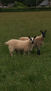 Royal Welsh Show Mule Ewe Lamb