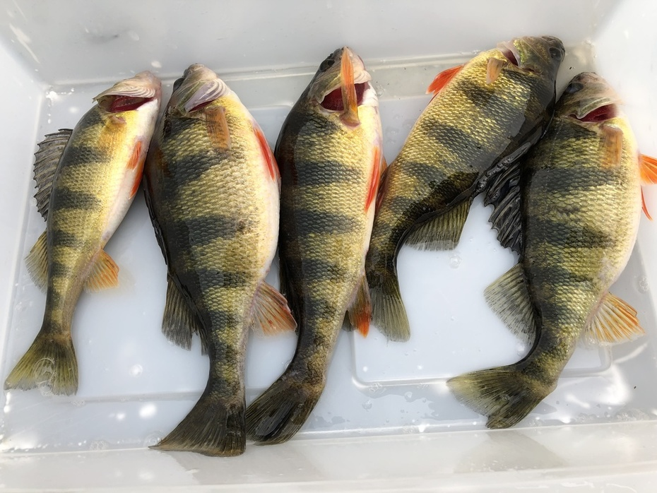 Best Of 2019..........Football Yellow Perch