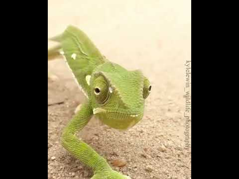The Beautiful Chameleon