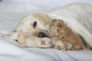 [WEBINAR] Genetics in Labrador Retrievers