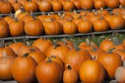 DARK-Pumpkin Festival