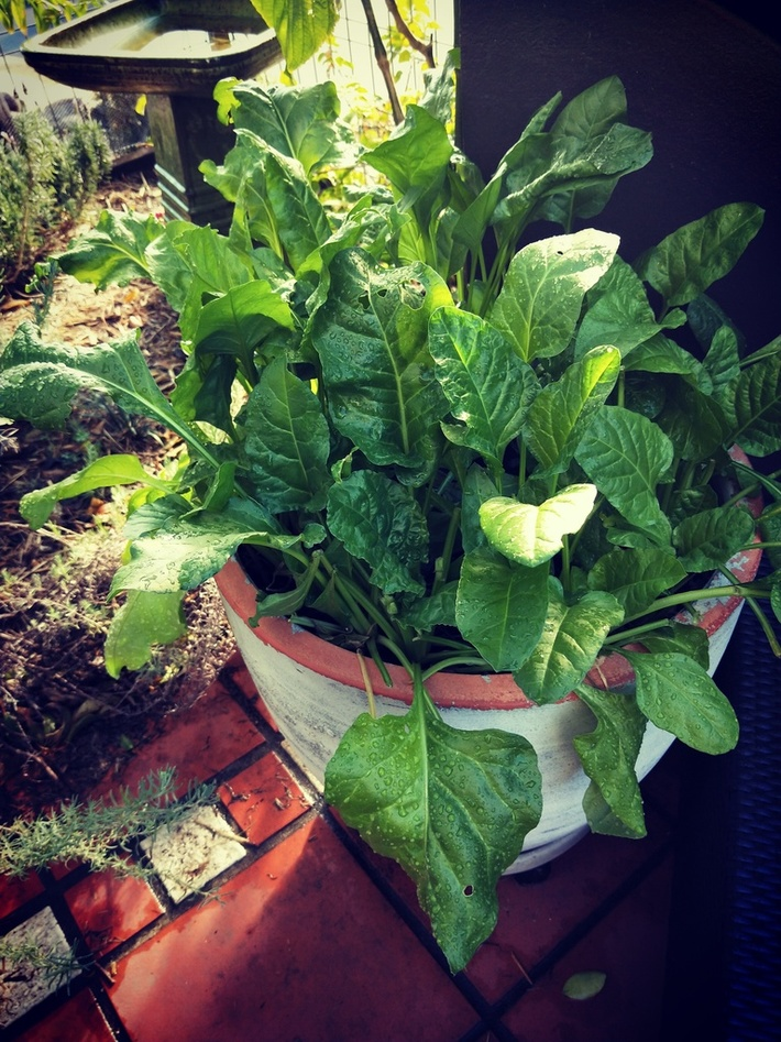 Potted Silverbeet