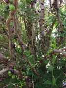 Jaboticaba october 18