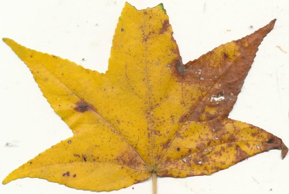 WV leaf