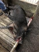 Boar Down!