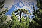 Black pine 3