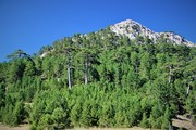 Black pine 4
