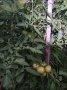 tress tomatoes -took seeds from the supermarket ones