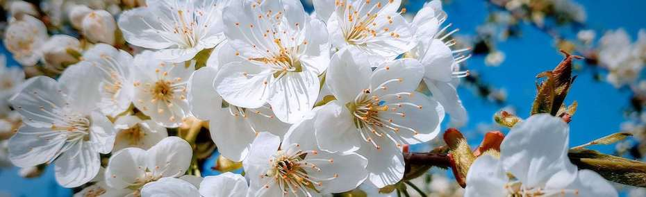 *Flores de Marzo*