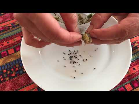 Growing And Harvesting Black Cumin Nigella Sativa