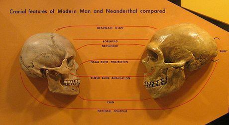 Image result for Cerebro neanderthal