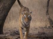 Lightening the tigress