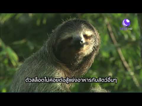 ชีวิตสัตว์มหัศจรรย์ : สล็อต สัตว์จอมเฉื่อยผู้น่ารัก