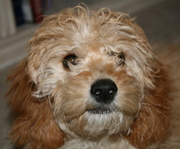 Boone petite goldendoodle Lynee video