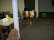 Gizmo and the Mini Horse