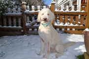Finally a little snow for a handsome Doodle!