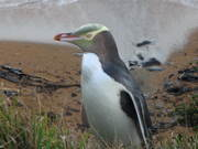 Yellow-eyed penguin, The Catlins, NZ, 2006