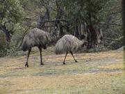 mountian emus