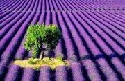 lavender-farm-scenery