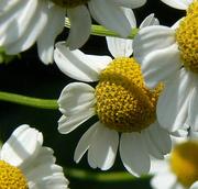 daisy lowers 2