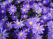 flower-daisy blue