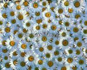 flower-daisy-flowers
