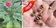 Ginseng seeds from Russia