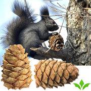 Cedar seed cones