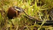 Garter Snake Eats Slug at Alderleaf