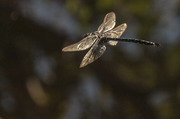Vineyard dragonfly