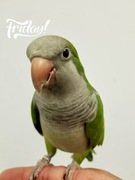 Tuck the Monk Parakeet