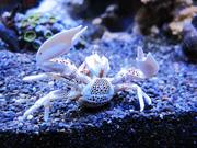 Porcelain Anemone Crab Reef Chuck Norris Ecoxotic EcoPico