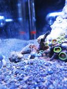 Hermit Crab Climbing Live Rock Ecoxotic EcoPico