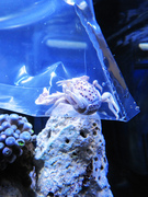 Acclimating Anemone Crab Ecoxotic EcoPico