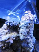 Acclimating Porcelain Anemone Crab Ecoxotic EcoPico
