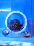 Mantis Shrimp PVC pipe