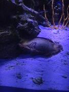Banded cat shark egg