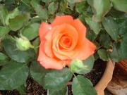 Around the Rose Garden