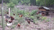 Chickens of the woods