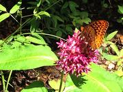 Spangled Fritillary Butterfly on purple milkweed