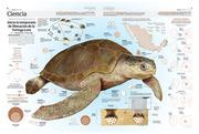 Inicia la Temporada de liberación de la tortuga Lora