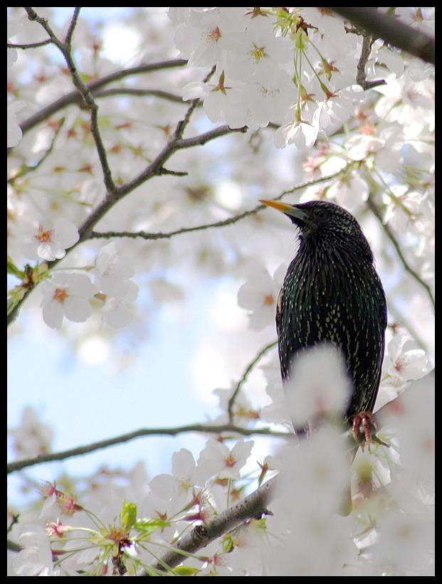 Spring Cherries51