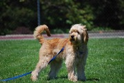 Timshell Farm Golden CavaDoodle