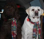 Furbabies - Rex the Labradoodle and, his sister, Pearl the Lab