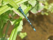 Azure Damselfly at the pond
