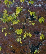 Autumn leaves in park, Nov 11th '12