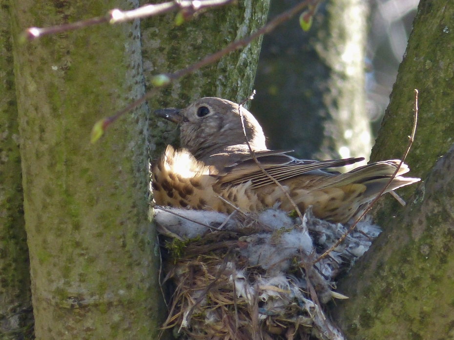 Parent Mistle Thrush on nest, April 17th '16